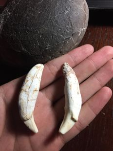 2 Smilodon teeth - 20.5 g