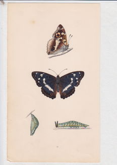 Thirty-Nine (39)  hand-colored copper-plate Engravings of Butterflies and Moths by Donovan, Curtis, Millière