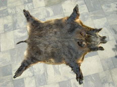 Large wild-boar hide, wild snout and hooves (+/- 170 x 140 cm.)