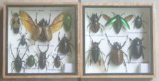 Pair of interesting Asian Insect displaycases - 15 x 15cm  (2)