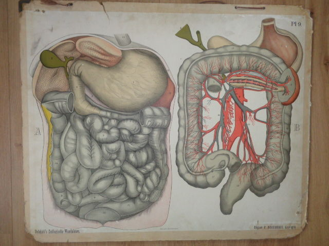 Three old Anatomical school posters / school maps of P. Dybdahl