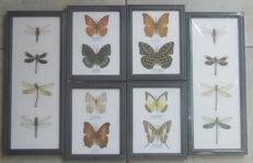 A colourful collection of 8 Asian Butterflies and 8 Dragonflies in black frames -  (6)
