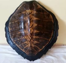 Fine antique Sea Turtle Shell, carved in low relief with figures - Cheloniidae sp. - 66cm x 65cm