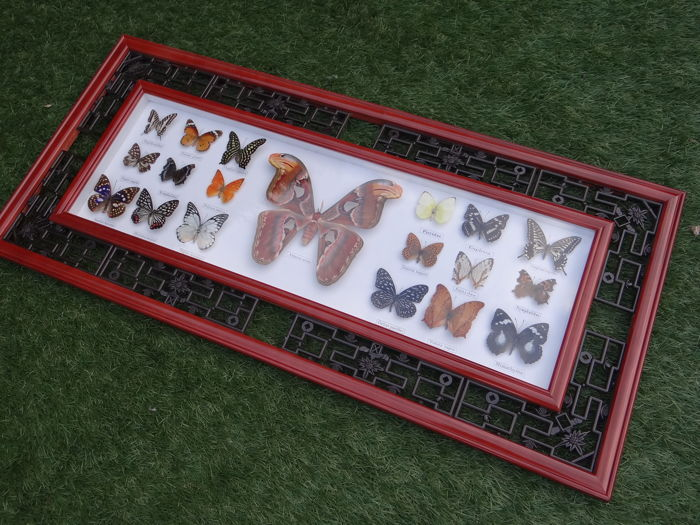 Oriental-style wall-hung Butterfly case, with Atlas Moth - 92 x 42cm