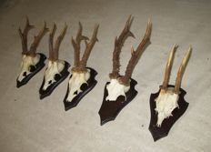 Vintage set of Roebuck trophies on custom wall-plaques - Capreolus capreolus - 26 to 31cm  (5)