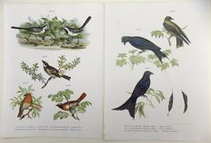 Two ornithological prints by Leopold Fitzinger - Warblers, Red Robin, Redstarts - early colour lithography  - from Fitzinger's rare series on Reptiles.1860