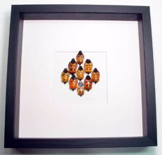 "Interesting framing of 9 Man-faced Stink Bugs - ""A face in a frame""- Catachantus incarnatus - 25 x 25cm"