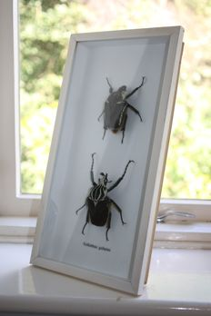 Vintage, framed pair of Goliath Beetles, male and female - Goliathus goliatus - 38 x 20cm