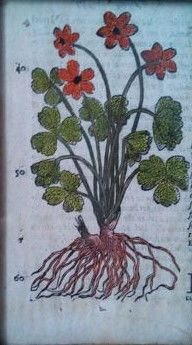 Botanical print - Elleborina Botanica -  from 16th century (1571)