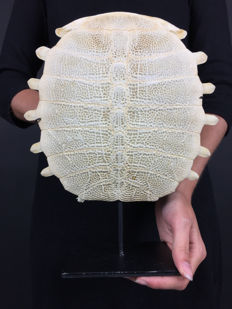 Chinese Softshell Turtle carapace skeleton, with stand - Pelodiscus sinensis - 29 x 25cm
