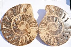 Large cut and polished ammonite - Choffaticeras sp. - 23.5cm  (2)