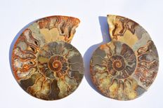 Pair of irridescent Ammonite halves - Cloeniceras sp. - 13.5cm  (2)
