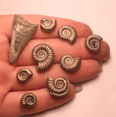 Collection of fossil Iron Pyrite Ammonites, with Pyrite Belemnite - mixed species, with Belemnite phragmocone - 12 to 32mm  (9)