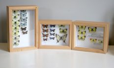 Lot comprising fine Alder Wood framed sets of British and European Butterflies - with collection data - 18 x 15cm and 23 x 15cm  (3)