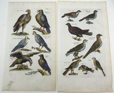 2 ornithological prints  - Matthias Merian - Birds of Prey: Eagles, Busard, Circus, Vulture, Buteo  - 1657