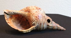 Very Old Conch - Sepik Province - Papua New Guinea