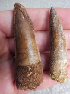 Pair of fine Dinosaur teeth - Spinosaurus sp. - 6.3cm and 5.7cm  (2)