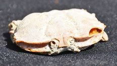 Fossil Crab, with nice  detail - Galene acerbum - 9.5cm
