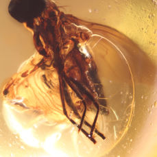 Baltic Amber with Insect inclusion - 6.5 x 6 x 5mm