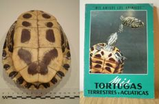"Red-eared Slider carapace - Trachemys scripta elegans - together with Tortoise/Turtle Reference ""Mis Tortugas terrestres y acuáticas"" - 17cm  (2)"