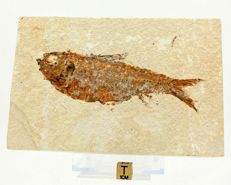 Fossil fish on rectangular plate - Knigthia alta - 11.8 x 3.7cm