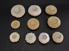 Fine collection of North African Sea Urchin fossils - Phymosoma raguini, Plegiocidaris (Nenoticidaris) - (10)