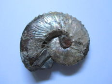 Fine Microconch Ammonite - Scaphites nebrascensis - 63 x 50 x 20mm