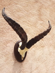 Taxidermy - fine Spanish Ibex trophy skull with large horns - hardwood shield - Pyrenaica capra - 60cm