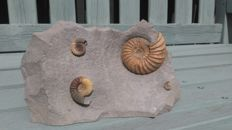 Finely prepared and detailed Fossil Ammonites - Asteroceras and Promicroceras sp. - 25 x 16cm