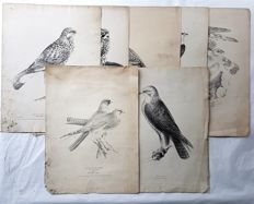 7 prints by H.L.Meijer & mayby other artists - Various birds - 1837