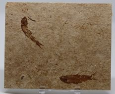 Matrix plate with Fossil Fishes - Knightia eocena - 11 x 14cm