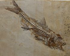 Finely detailed Fossil Fish, much in 3-D - Dapalis macrurus - 13.3 x 9.6cm - 0.3 kg