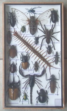 A very diverse wooden collector's set with various Insects including a Poison Set - 35 x 20cm