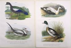Two ornithological prints by Leopold Fitzinger - Muscovy Duck; Long-Tailed Duck; Eider; Greater Merganser - early colour lithography  - from Fitzinger's rare series on birds. 1860