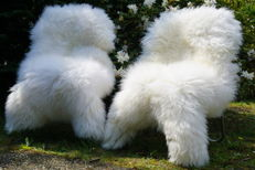 Pair of extra large white Sheep Skins - Ovis aries - 120 x 75 cm (2)