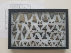 Nice collection of fossil shark teeth - Ex-situ finds and a variety of different species - 1–5 cm