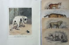 5 prints of Dogs & Lions by J.Arlent Edwards and other artists - ''More Frightened than Hurt'' plus other prints of Dogs, Lions and other animals - 19th century
