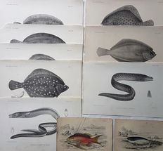 10 prints by an unknown artist - Various (funny) Fishes - 19th century