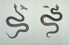 2 fine folio lithographs by Leopold Fitzinger - Snakes: Viper; Rhinechis - early colour lithography heightened with hand finish - 1860