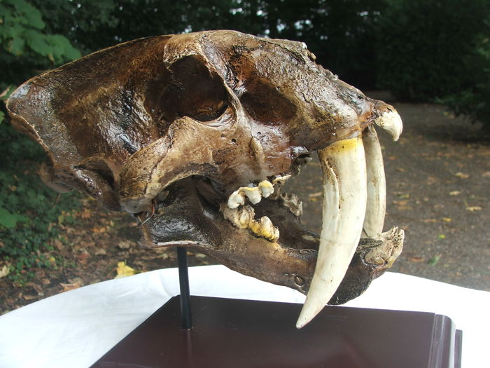 Réplique de chat à dents de sabre - Crâne - Smilodon - 230×190×300 mm