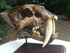 Fine replica Sabre-toothed Tiger skull - Smilodon - 30 x 23 x 19cm - 2350gm