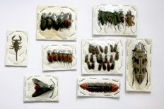 A collection of South East Asian entomology specimens - 1 to 6.5cm  (44)