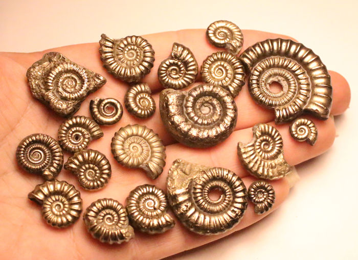 Group of iron pyrite ammonite fossils - mixed species - 9–34 mm (20)