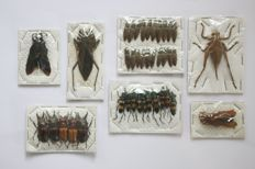 An interesting collection of Exotic Insect specimens - 1 to 5cm  (39)