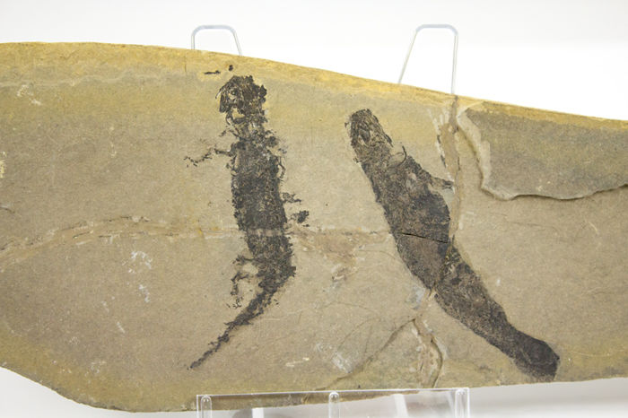 Plate with a pair of branchiosauridae with soft tissue preservation - Apateon pedestris - 20.5 x 8 cm