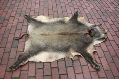 Wild boar hide, with snout and hooves (+/- 160 x 140 cm)