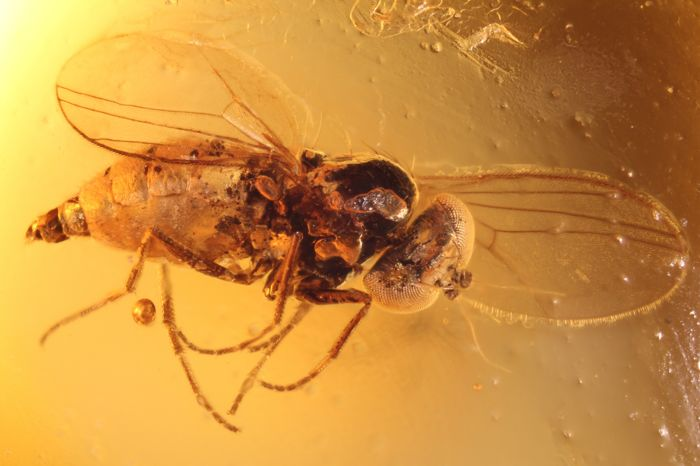 Baltic Amber with insect inclusion - 7 x 6 x 4 mm + high resolution photo