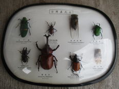 Vintage Chinese Insect collection in oval glazed dsiplay case - 29 x 21.5cm