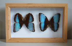 Pair of Morpho Achilles Butterflies, in Alder wood case - 15 x 23cm