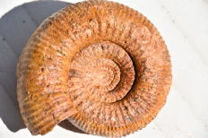 Ammonite - Stephanoceras sp. - 11.5 cm - 795gm